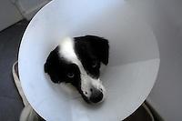 Un cane col collare elisabbettiano.