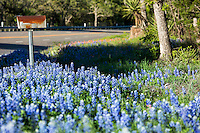 An old rustic rural mailbox is cover by bluebonnet wildflowers in the Texas Hill Country - Stock Image.