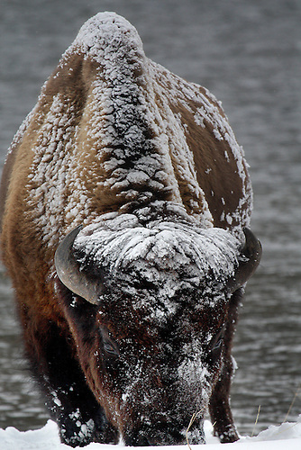 A Bison, frosted by the severe weather conditions, grazes at Yellowstone National Park, Wyoming