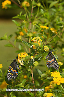 03009-01802 Black Swallowtail butterflies (Papilio polyxenes) male and female on New Gold Lantana (Lantana camara) Marion Co., IL