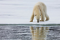 Norway, Svalbard, polar bear at ice edge sniffing at snow