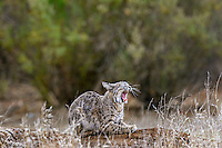 Wild Bobcat (Lynx rufus) yawning.  California.  Late Winter.  (Completely wild non-captive cat.)