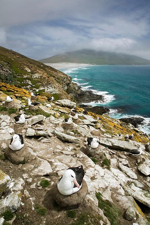 Black-browed Albatross - Thalassarche melanophris - breeding colony, Falkland Islands