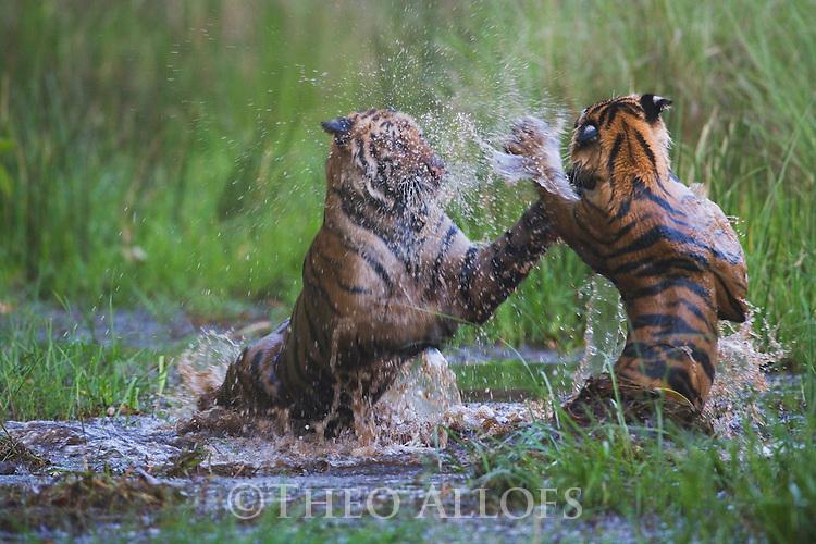 16 months old Bengal tiger cubs (Panthera tigris) playing in water, dry season, April