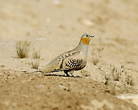 Spotted Sandgrouse - Pterocles senegalus