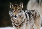 Grey wolf portrait, Canada
