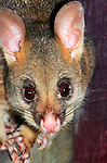 A Common Brushtail Possum visits a suburban home for food at night.  //  Common Brushtail Possum (=Brush-tailed Possum) - Phalangeridae: Trichosurus vulpecula. Body length to 55cm plus tail 40cm, weight to 4.5kg. Sexes similar, males with prominent scrotum. In Australia found throughout the mainland and Tasmania in forested areas, but not in inland arid habitats;  common in urban and suburban areas. Introduced to New Zealand in 19th Century and is now a pest species.  At night suburban males mark their territory with a blood-coloured fluid secreted from a scent gland on the chest. This secretion is water soluble. Eats mainly leaves, flowers and fruit, and in suburban areas will enter houses in search of food - bread, apples, etc. Sleeps in a tree hollow, in suburbs in roof cavities where noise from fights, footsteps and scent often make it an unwelcome resident.  IUCN: Least Concern.