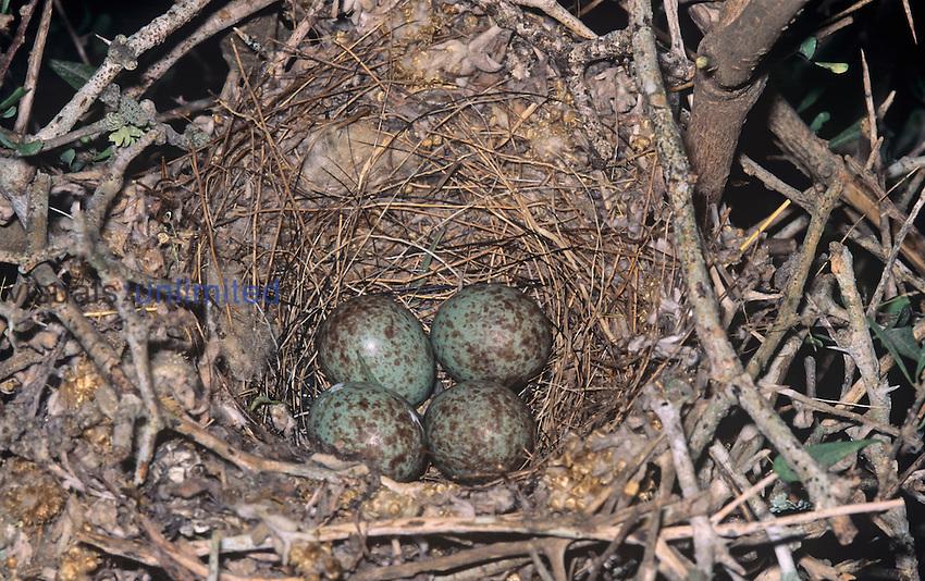 Northern Mockingbird nest with four eggs ,Mimus polyglottos, North America.