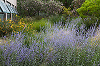 Perovskia atriplicifolia, Russian sage, blue flowering perennial by building in drought tolerant New Mexico meadow garden