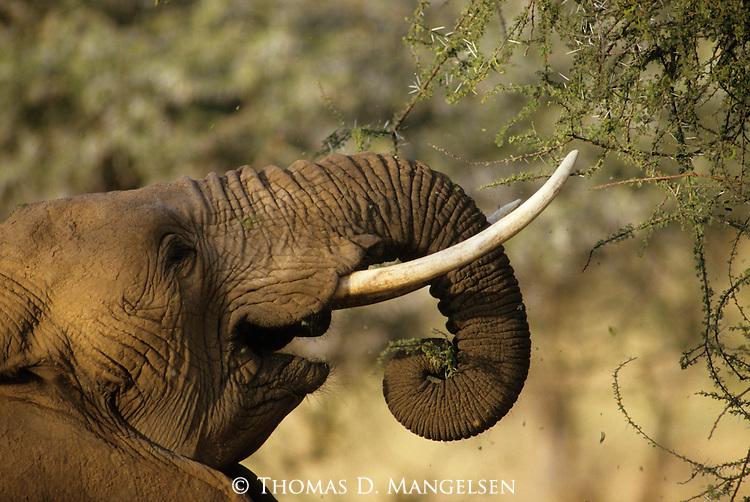 Close-up of a feeding African elephant in Kenya.