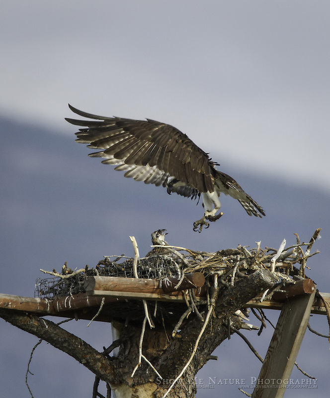Adult Osprey returns to the nest, where the single nestling awaits