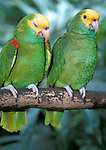 Yellow Crowned Amazon, Amazona ochrocephala, Parrot, Belize, captive, pair on branch with one sleeping