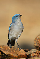 551130011 a wild young mexican jay alphelocoma wollweberi drinks from a small pond in madera canyon green valley arizona united states