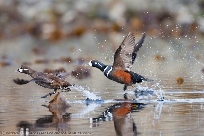 Harlequin ducks, Unakwik Inlet, Prince William Sound, southcentral, Alaska
