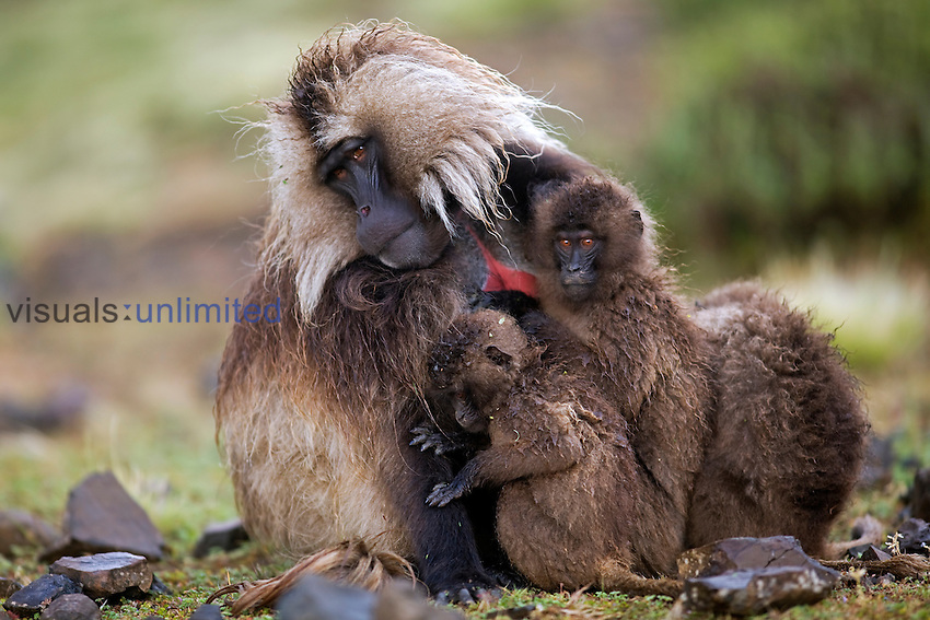 Juvenile Geladas (Theropithecus gelada) huddled with a mature male for protection from rain, Simien Mountains National Park, Ethiopia.
