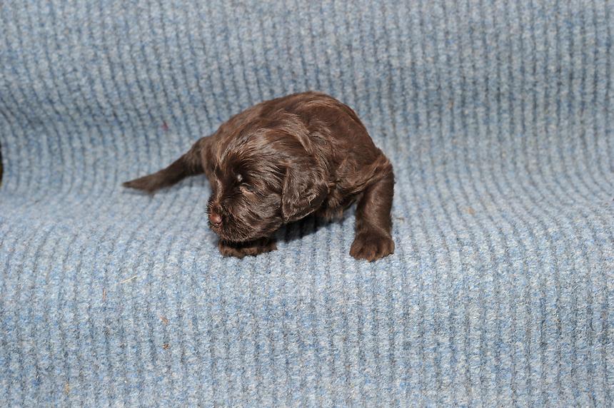 Portuguese waterdog Portugisisk vannhund, Portuguese waterdog