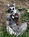 16/05/16<br /> <br /> &quot;I'm hungry!&quot;<br /> <br /> Three baby ring-tail lemurs began climbing lessons for the first time today. The four-week-old babies, born days apart from one another, were reluctant to leave their mothers&rsquo; backs to start with but after encouragement from their doting parents they were soon scaling rocks and trees in their enclosure. One of the youngsters even swung from a branch one-handed, at Peak Wildlife Park in the Staffordshire Peak District. The lesson was brief and the adorable babies soon returned to their mums for snacks and cuddles in the sunshine.<br /> All Rights Reserved F Stop Press Ltd +44 (0)1335 418365