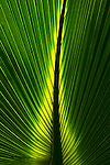 The detail and ridges of a leaf are backlit at the Montreal Botanical Gardens, Quebec, Canada