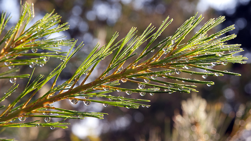 White Pine needles glisteninig after a summer rain.