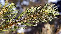 White Pine needles glisteninig after a summer rain.