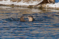 Northern River Otter (Lontra canadensis) playing in river.  Winter.  Western U.S.