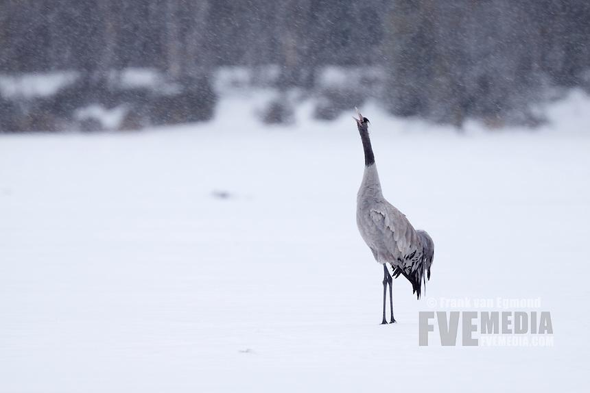 Common Crane on ice during heavy snowfall.