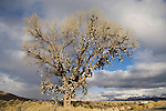 Shoe tree, winter along Nevada's US 50 near Middlegate.