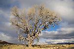 Shoe tree, winter along Nevada's US 50 near Middlegate.