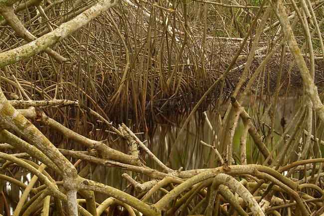 Mangrove root complex