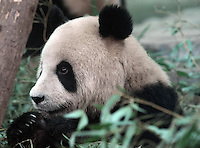 Pandas that were brought from the damaged Wolong panda reserve to Beijing at Beijing Zoo, 20th August 2008.   Eight tramatised one and two year-old  pandas were brought from Wolong to Beijing for recuperation and have been placed in aan Olympic Panda exhibition at Beijing zoo and are recieving unprecadented number of visitors.  The pandas were so scaerd during the quake and refused to come down from the trees. The Wolong keepers that accompanied the pandas to Beijing cuddle and play with pandas to help them recover from their horrific experience. <br />