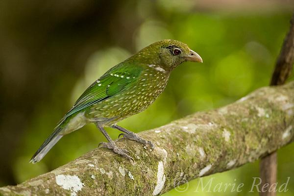 Green Catbird (Ailuroedus crassirostris crassirostris), Lamington National Park, Queensland, Australia.