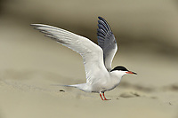 Common Tern - Sterna hirundo