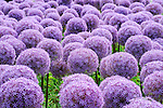 Boston Public Garden. Allium