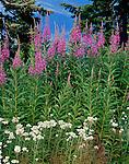 Mt. Baker-Snoqualmie National Forest, WA<br /> Fireweed (Epilobium agustofolium) and Pearly Everlasting (Anaphalis margari-lacea)