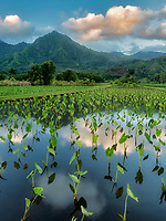 Taro field. and mountains around Hanalei National Wildlife Refuge. Hanalei, Kauai, Hawaii
