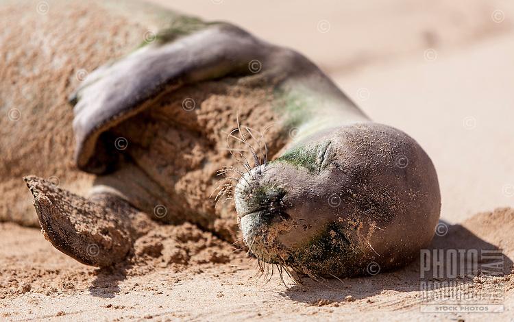 Hawaiian monk seal sleeping at Gillin's Beach (part of Maha'ulepu Beach), south shore of Kaua'i