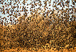 A large flock of Red-winged Blackbirds in flight, Bosque del Apache National Wildlife Refuge, New Mexico, USA