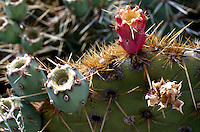 PRICKLY PEAR CACTUS<br /> Prickly Pear (Opuntia)<br /> Valley of Fires, NM. The fruit of the prickly pear is edible.
