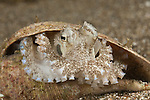 Coconut octopus(Amphioctopus marginatus) inside an empty snail shell.