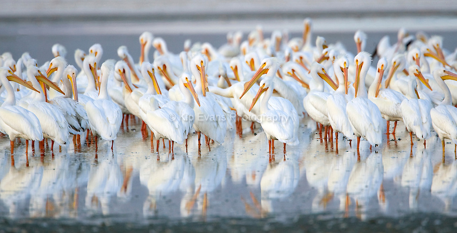 American white pelicans on the Salton Sea, California.