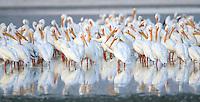 American white pelicans on the Salton Sea, California.