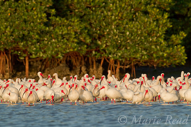 Flock of White Ibis (Eudocimus albus) in breeding plumage, gathering at water's edge of the mangrove-covered island that forms their nesting rookery, Tampa Bay, Florida, USA