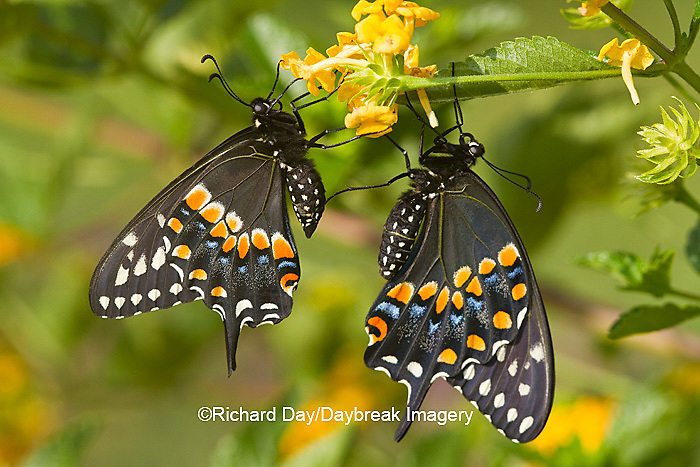 03009-01811 Black Swallowtail butterflies (Papilio polyxenes) male and female on New Gold Lantana (Lantana camara) Marion Co., IL
