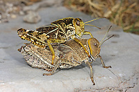 Gesägte Steinschrecke, Crau-Schrecke, Paarung, Kopula, Kopulation, Prionotropis hystrix, European Giant Steppe Grasshopper, Crau Plain Grasshopper, copulation, pairing