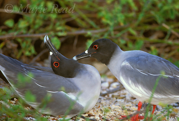 Swallow-tailed Gull (Creagrus furcatus) preens its mate at their nest site, Genovesa (Tower) Island, Galapagos Islands, Ecuador<br /> Slide # B59-1009