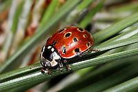 Eyed Ladybird - Anatis ocellata<br /> larva