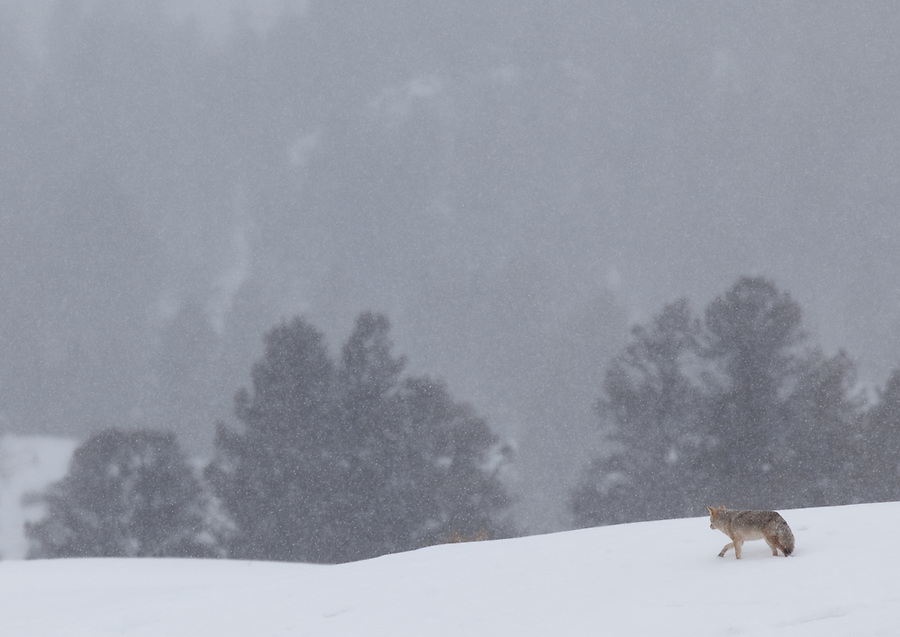 A lone coyote in a snowstorm near Slough Creek in Yellowstone National Park.
