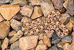 Horned puff adder, Namib-Naukluft National Park, Nambia