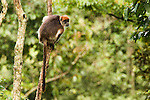 Eastern Red Colobus (Procolobus rufomitratus) in rainforest tree, Kibale National Park, western Uganda