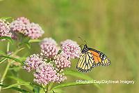 03536-05909 Monarch (Danaus plexippus) on Swamp Milkweed (Asclepias incarnata) Marion Co. IL